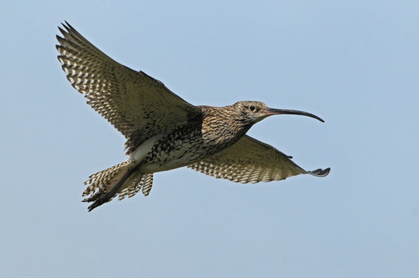 Curlew in Flight (Colum Clarke)