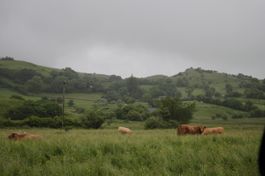 Cattle grazing - Leitrim,DB